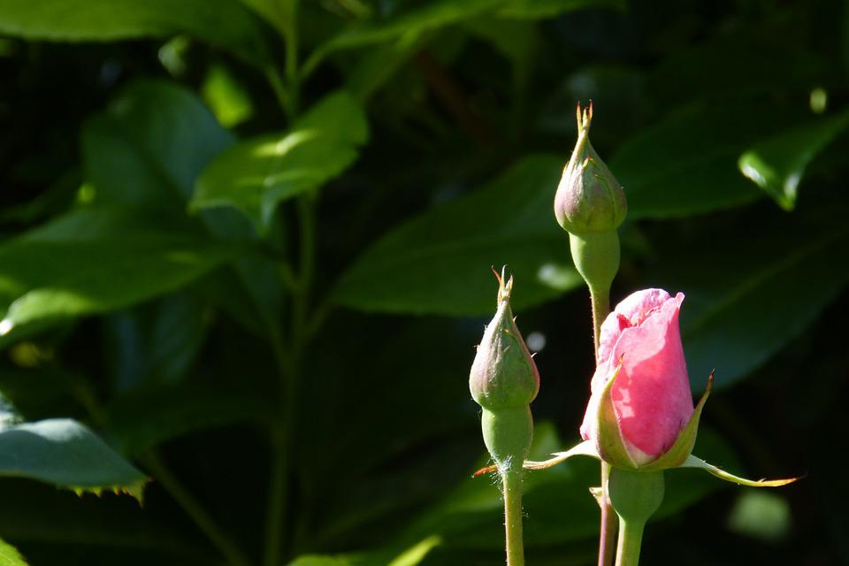 Rose, Bud, Blossom, Bloom, Plant, Beautiful, Fragrant
