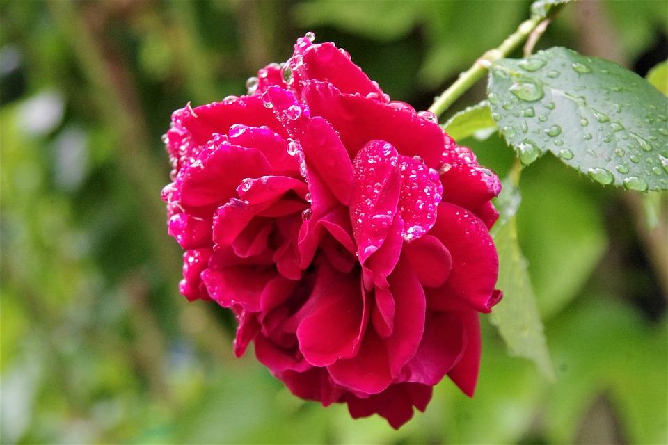Rain, Rose, Raindrop, Blossom, Bloom, Fresh, Garden
