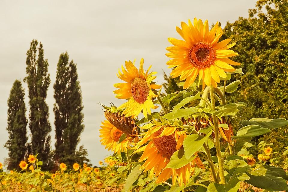Sunflowers, Garden, Yellow Flowers, Nature, Blossom