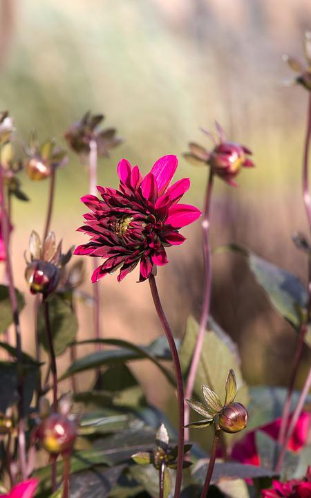 Dahlia, Wine Red, Bright, Blossom, Bloom, Garden Plant