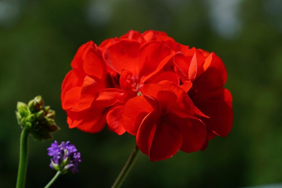 Geranium, Blossom, Bloom, Geraniums Bloom, Red, Plant
