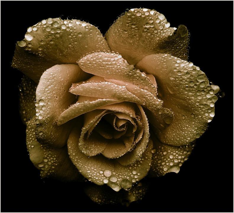 Rose, Gold, Romantic, Blossom, Bloom, Noble