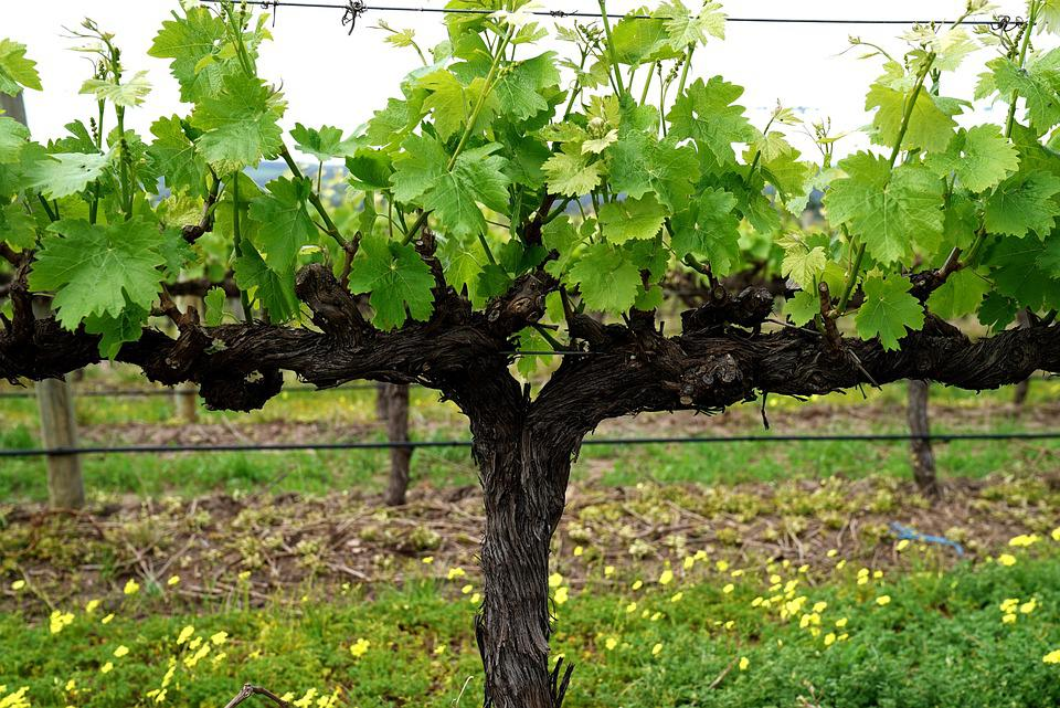 online store d38c2 77ca8 Grapevine, Vineyard, Blossom, Fruiting, Grapes
