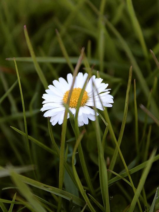 Daisy, Meadow, Bloom, Blossom, Bloom, Flower, Green