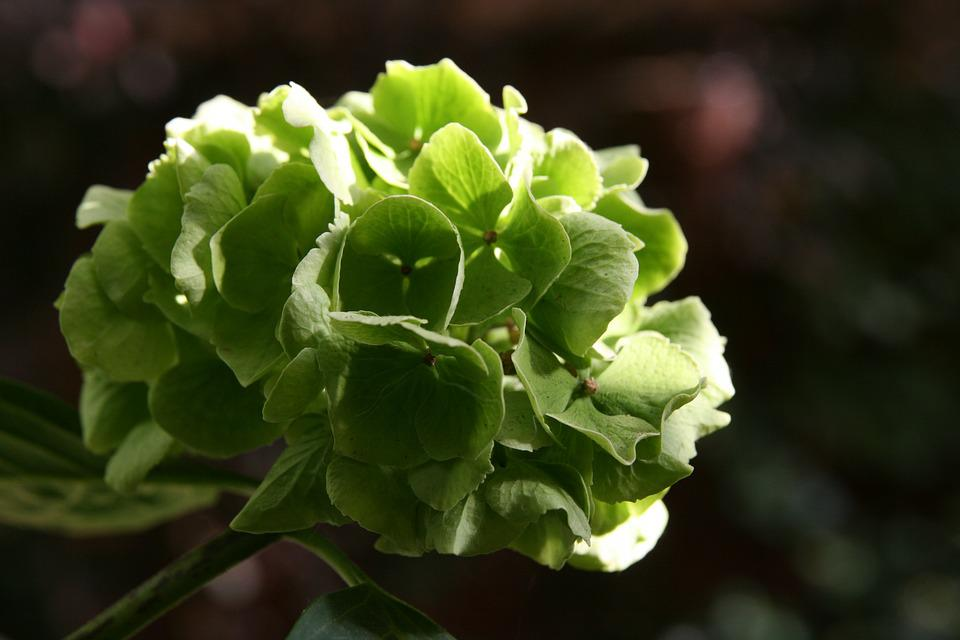 Autumn, Dry, Hydrangea, Blossom, Bloom, Green