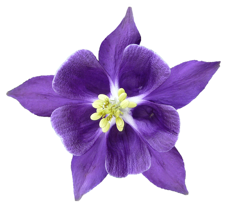 Columbine, Blossom, Bloom, Isolated, Hahnenfußgewächs