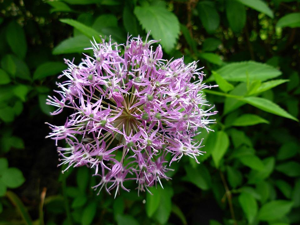 Flower, Flowering Shrub, Blossom, Bloom, Hedge, Bush