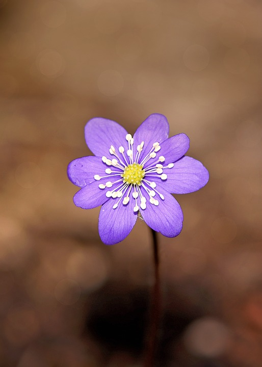 Hepatica, Flower, Blossom, Bloom, Blue, Purple, Plant