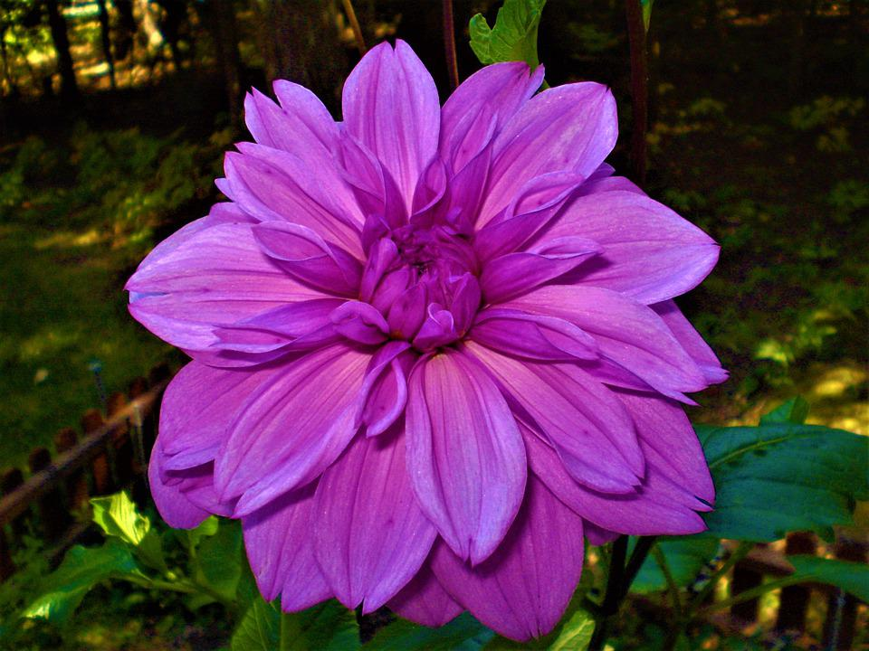 Free photo blossom hot pink dahlia colorful petals summer max pixel hot pink petals blossom dahlia summer colorful mightylinksfo