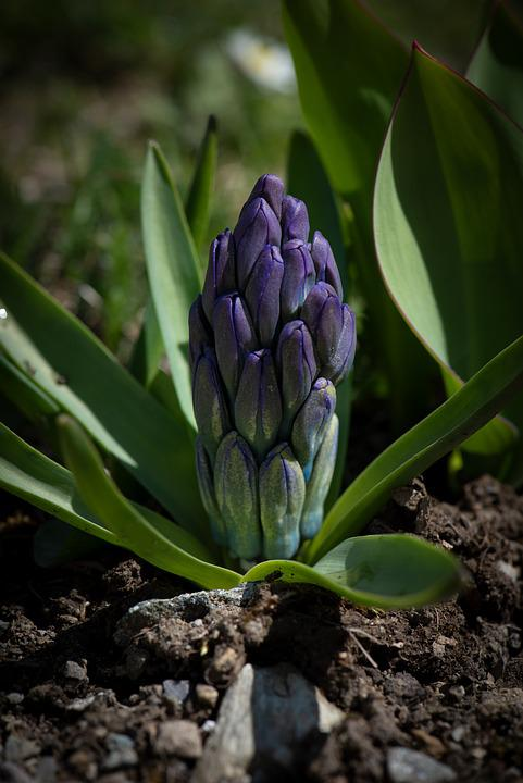 Hyacinth, Flower, Blue, Garden, Blossom, Bloom