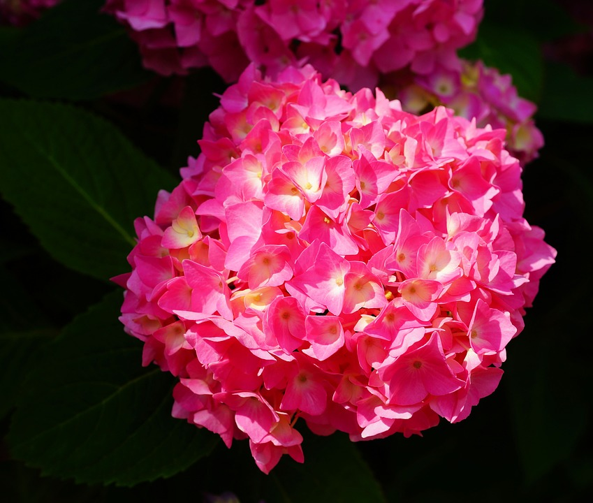 Flower, Blossom, Bloom, Hydrangea, Plant, Nature, Close
