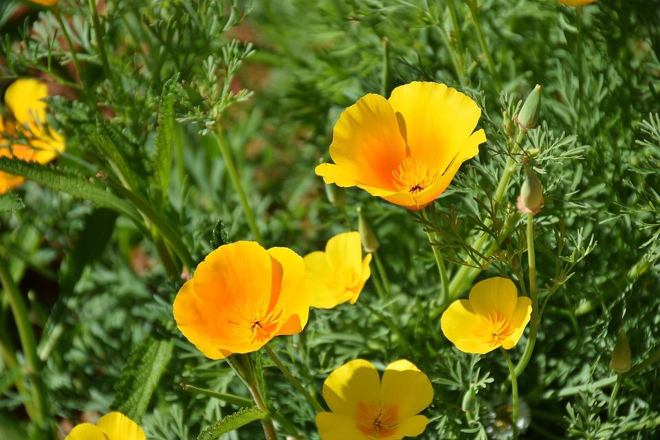 Iceland Poppy, Poppy, Yellow, Yellow Orange, Blossom