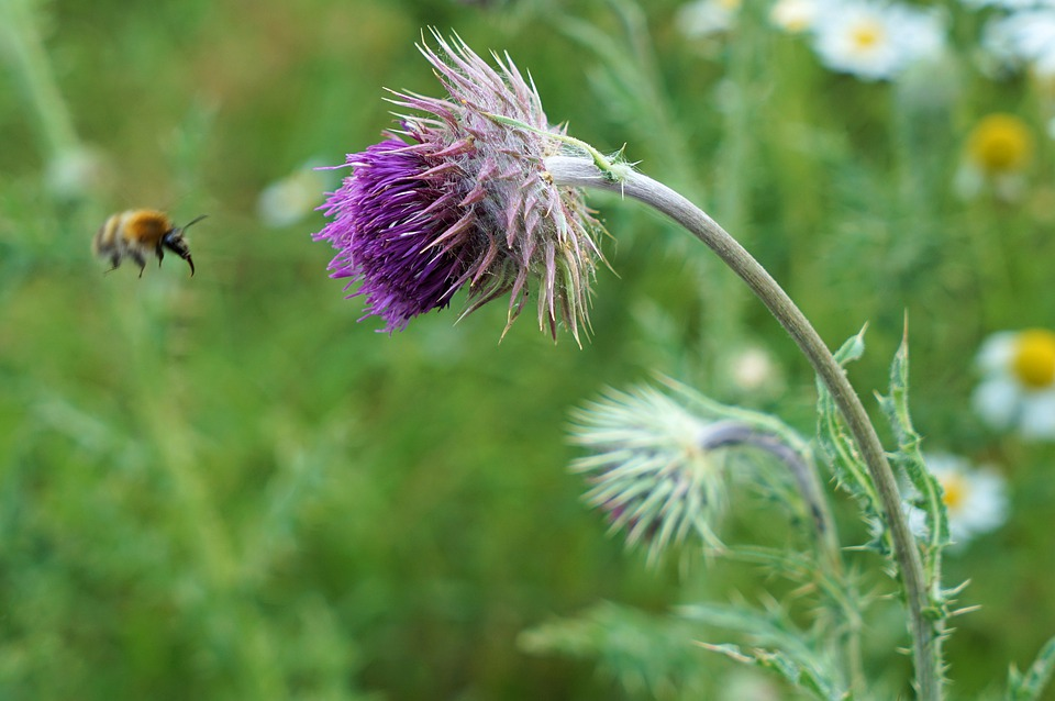 Thistle, Bee, Blossom, Bloom, Flower, Insect, Nature