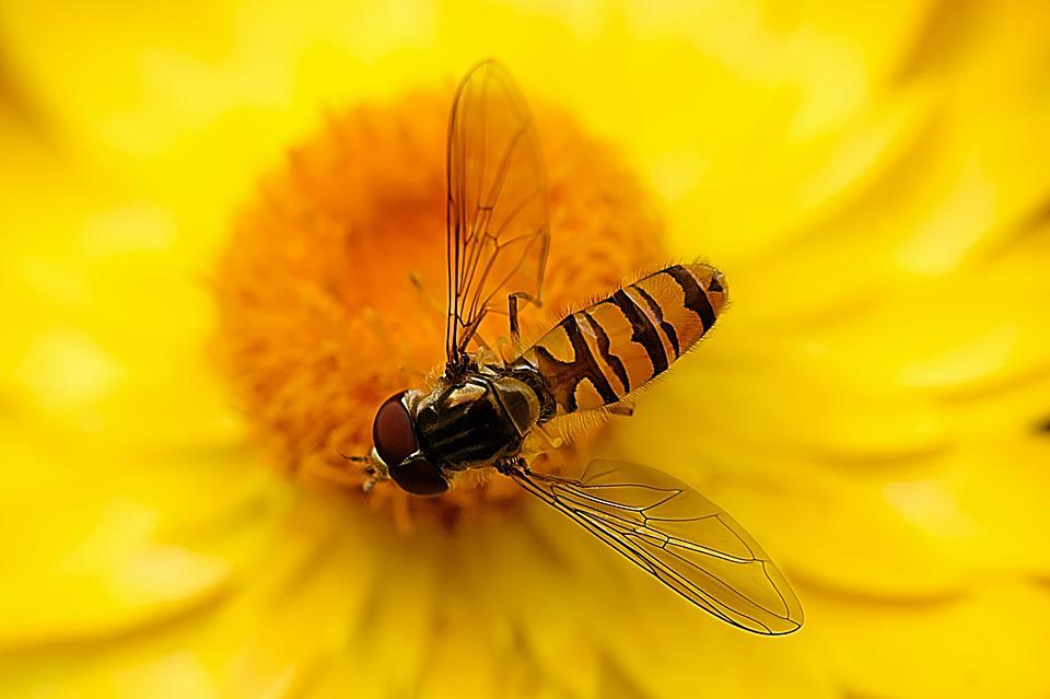 Hover Fly, Insect, Nature, Close Up, Fly, Blossom