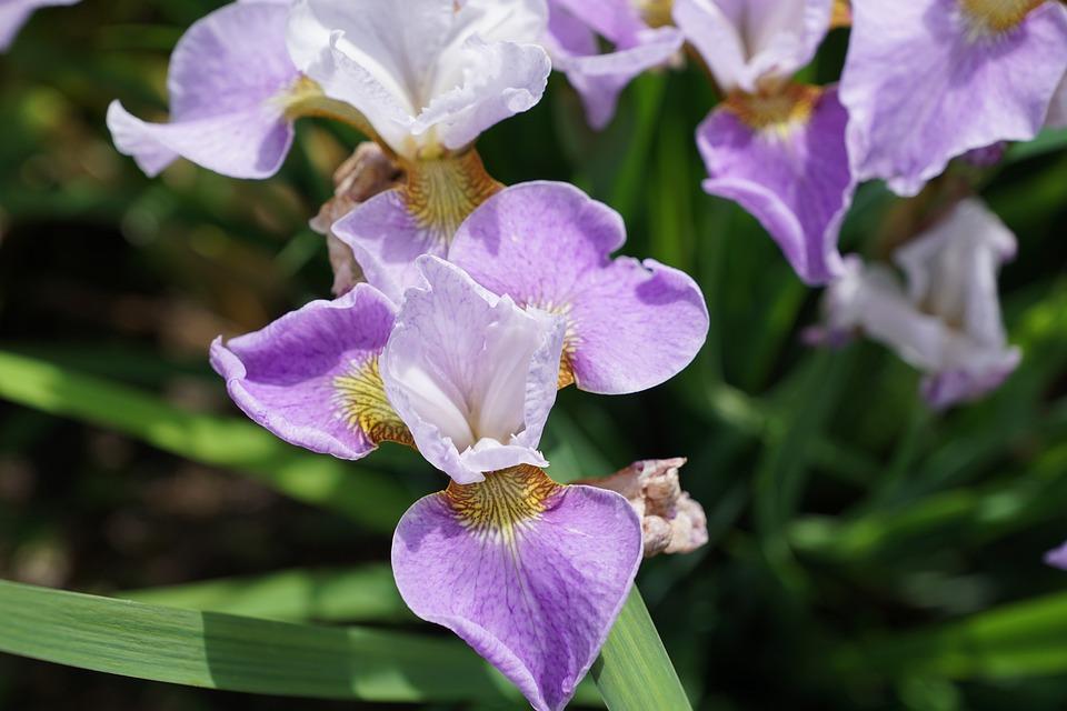 Iris, Flower, Blossom, Bloom, Nature, Garden, Purple