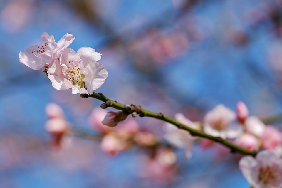 Japanese Cherry Trees, Blossom, Tree