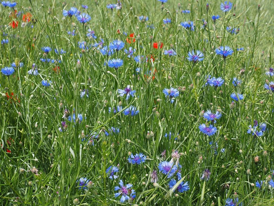 Cornflowers, Kornblumenfeld, Flower, Blossom, Bloom