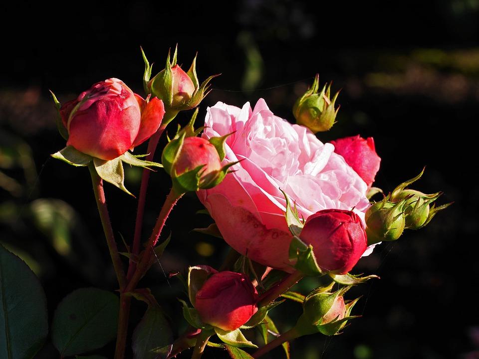 Floribunda, Blossom, Bloom, Filled, Bud, Last Flor