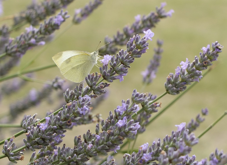 Lavender, Butterfly, Flowers, Pollen, Yellow, Blossom