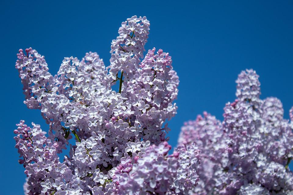 Lilac, Flowers, Blossom, Tree