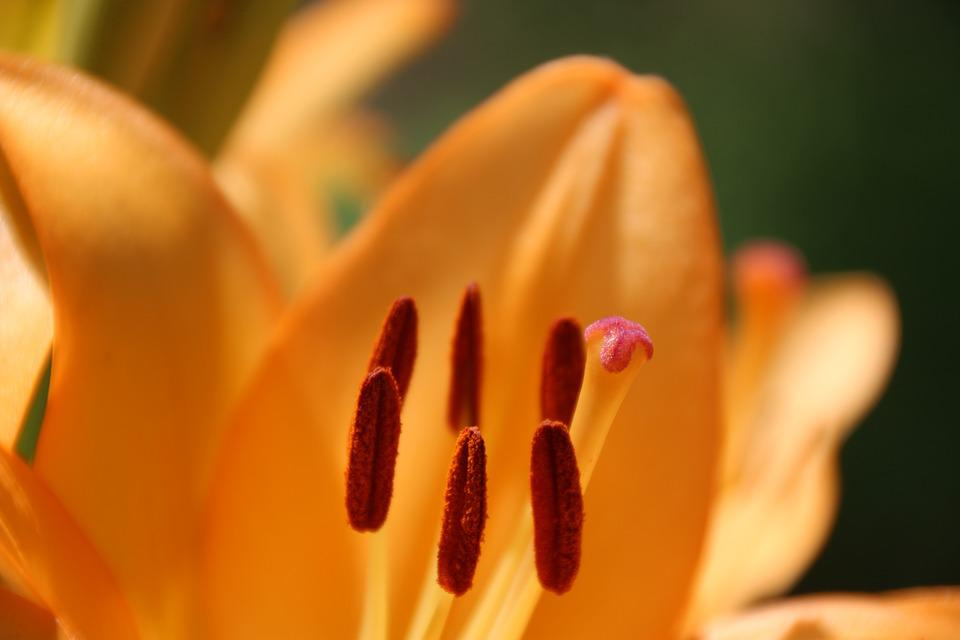 Lily, Stamp, Yellow, Blossom, Bloom, Yellow Flower