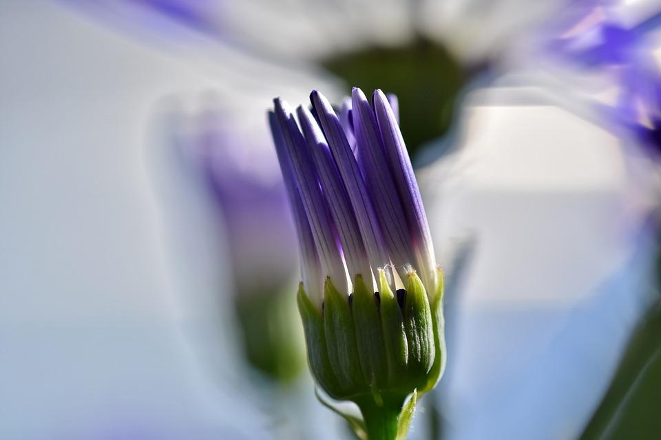 Marguerite, Blossom, Bloom, Bud, Flower, Backlighting