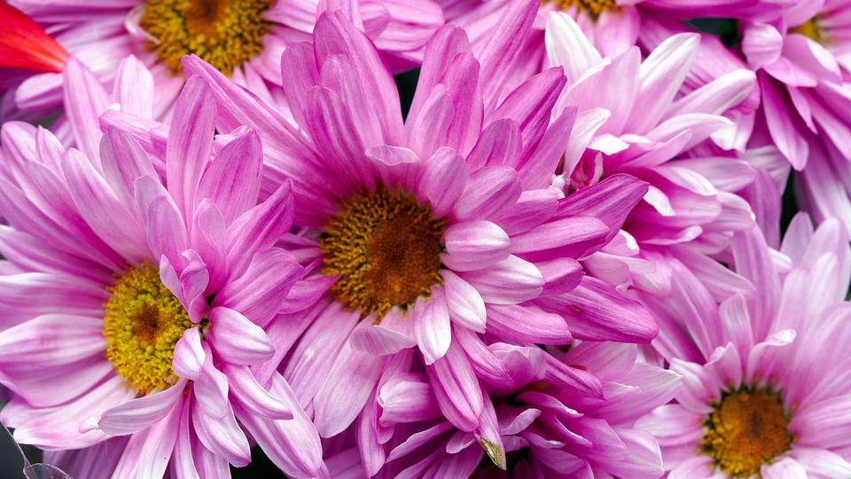 Flowers, Marguerite, Petals, Blossom, Bloom, Spring
