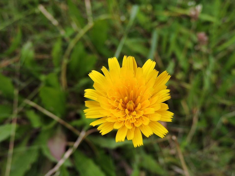 Hawkweed, Blossom, Bloom, Yellow, Meadow