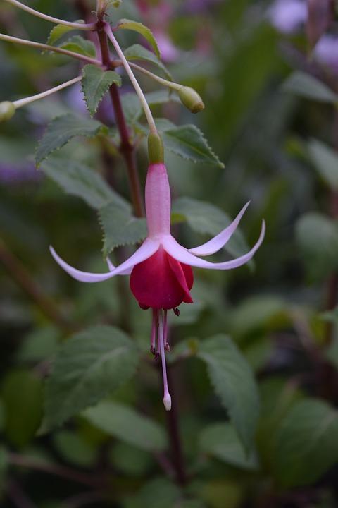 Fuchsia, Blossom, Pink, Flower, Bloom, Nature