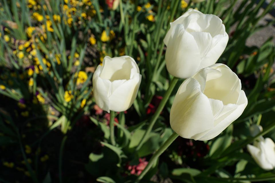 Tulips, Flowers, White, Nature, Spring, Plant, Blossom