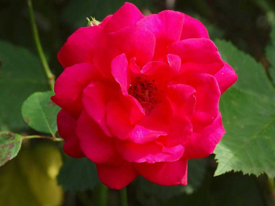 Rose, Flowers, Blossom, Bloom, Red, Nature, Flora