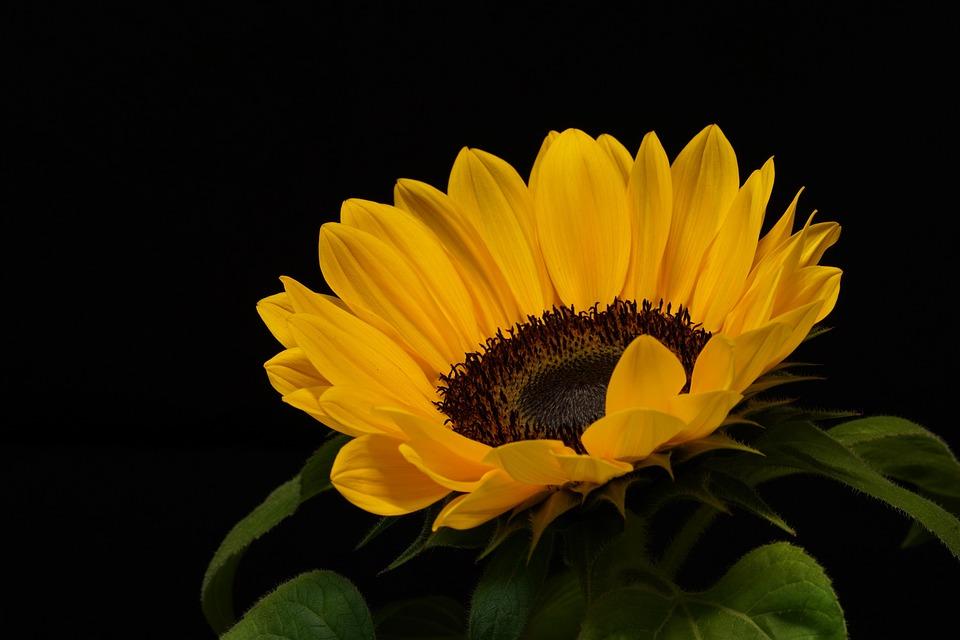 Flower, Nature, Blossom, Plant, Sunflower