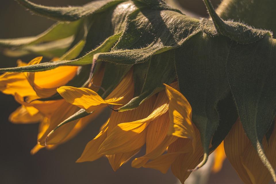 Sunflower, Light, Nature, Yellow, Plant, Blossom, Bloom