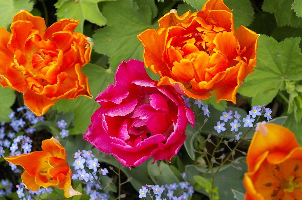 Tulips, Flower, Spring, Nature, Plant, Blossom, Bloom