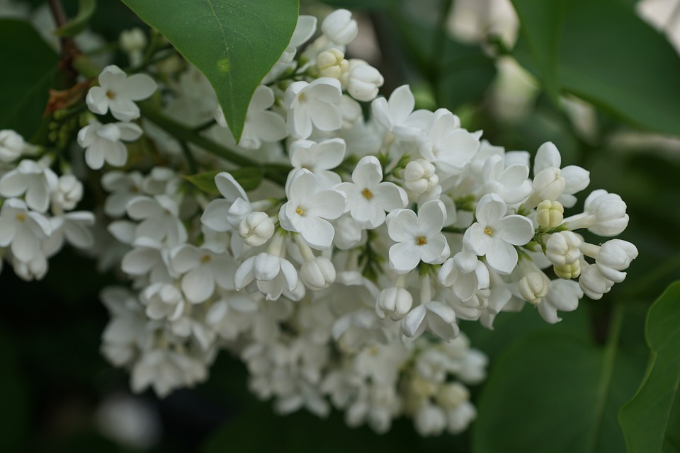 Lilac, White, White Lilac, Blossom, Bloom, Nature