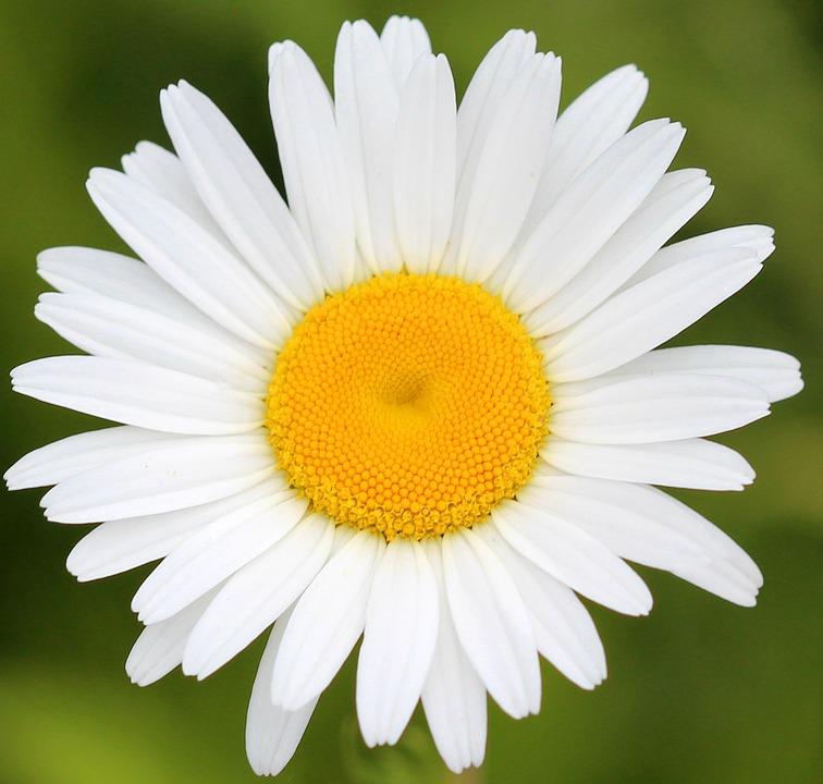 Daisy, Flower, Spring, Nature, White, Fresh, Blossom