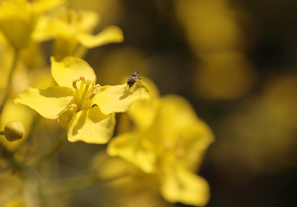 Oilseed Rape, Blossom, Bloom, Beetle