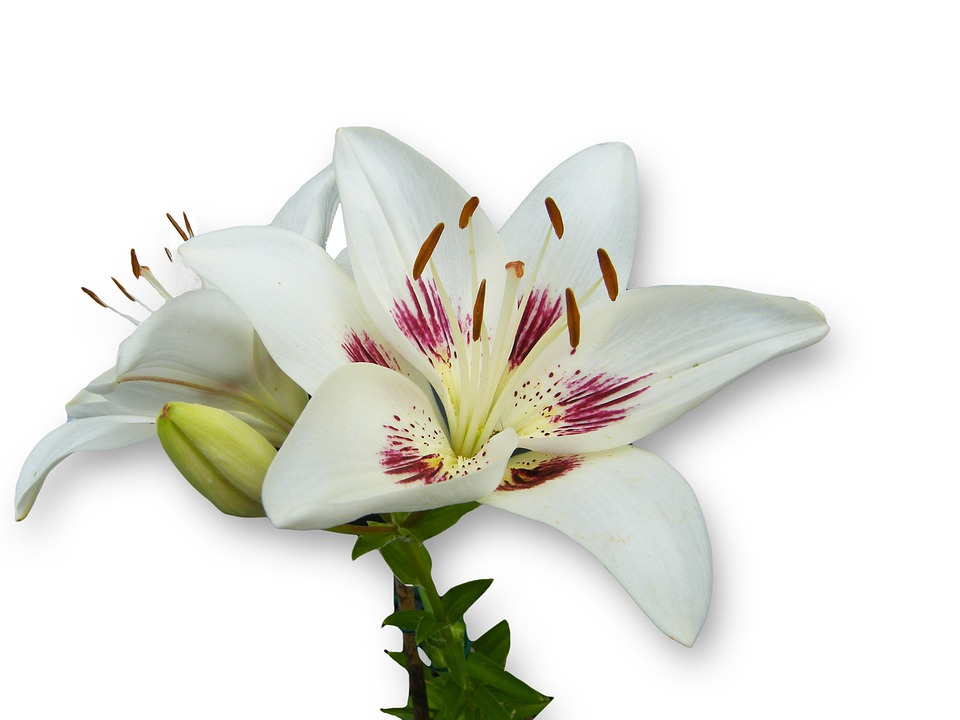 Lily, White, Spring, Bloom, Blossom, Open, Isolated