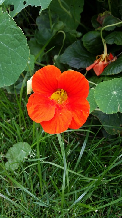 Nasturtium, Flower, Blossom, Bloom, Close Up, Orange