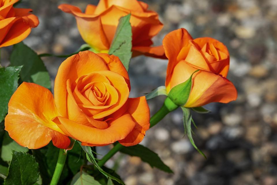 Roses, Flowers, Blossom, Bloom, Orange, Summer