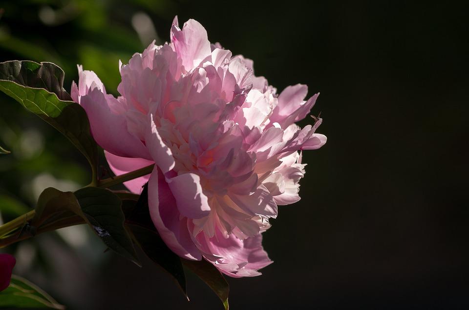 Paeonia, Peony, Blossom, Bloom, Pink, Shrub Peony