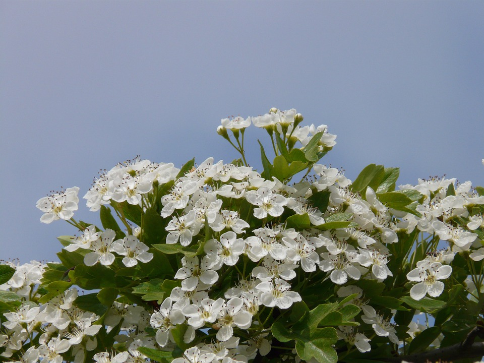 Pear Blossom, Pear, Blossom, Bloom, Bloom, White, Tree