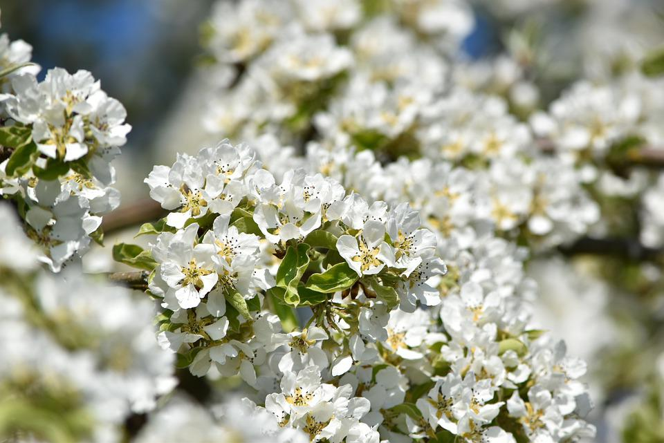 Pear Blossom, Blossom, Bloom, Spring, White, Tree
