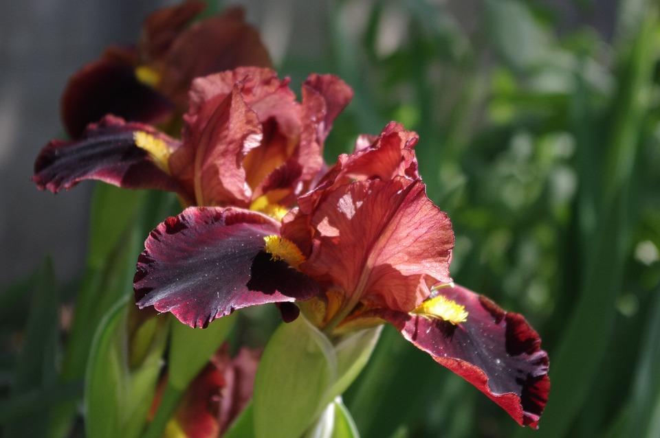 Iris, Flower, Garden, Floral, Blossom, Spring, Petal