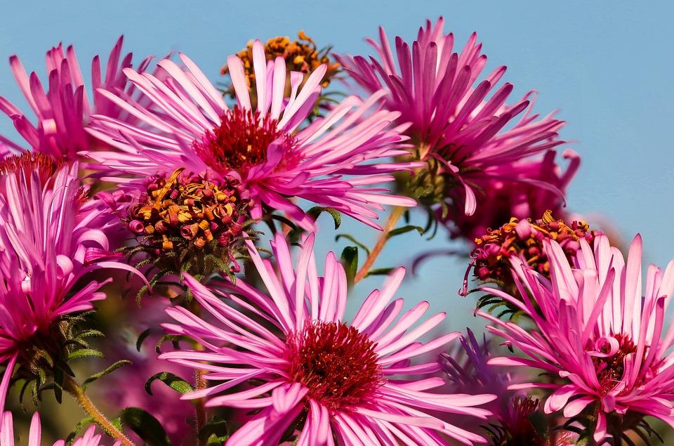 Nature, Flower, Blossom, Bloom, Aster, Autumn, Petals