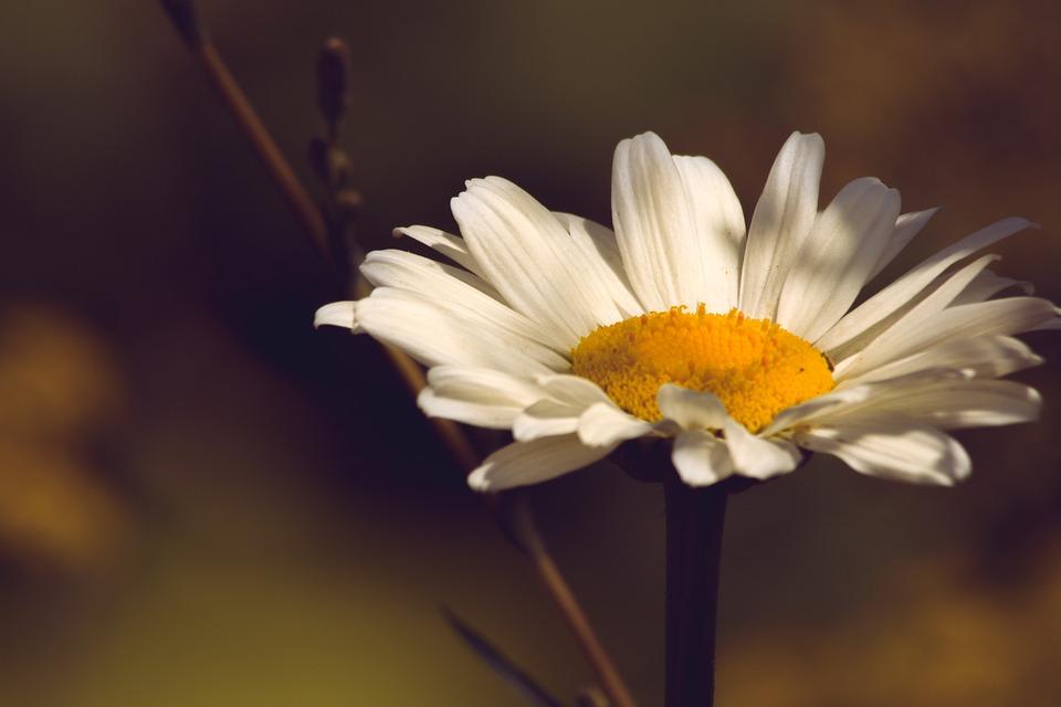 Daisy, Macro, Petals, Bloom, Blossom, Garden, Sunshine