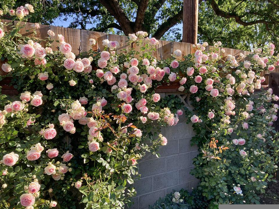 Flowers, Roses, Petals, Wall, Plant, Garden, Blossom