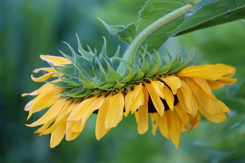 Sunflower, Petals, Leaves, Foliage, Head, Blossom