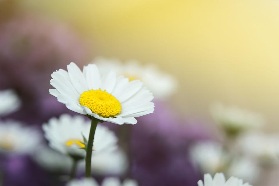 Daisy, Flower, White Flower, Petals, Bloom, Blossom