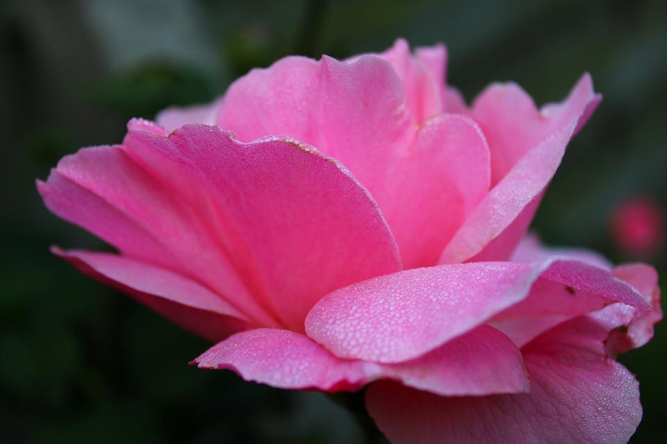 Pink Rose, Rose, Pink, Blossom, Flower, Dew Drops